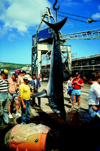 photo of mako shark - 610 lbs - Azores