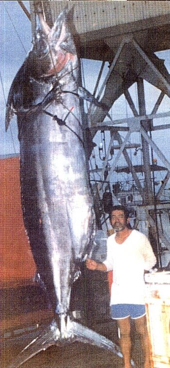Photo of largest marlin ever caught - 2,200 lbs - Okinawa commercial handline fisherman