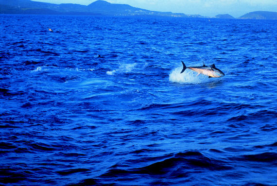 Jumping giant bluefin tuna photo - 700 to 800 lbs - Azores