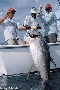 yellowfin tuna photo - 225 lbs - Hannibal Bank, Panama, Coiba Adventure