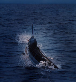 Blue marlin photo - 3000 lbs - Kona, Hawaii