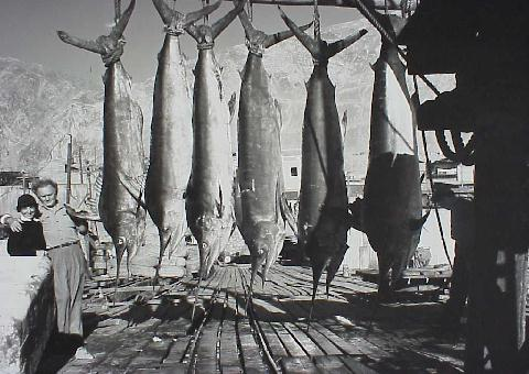 Photo of 5 Pacific blue marlin and 1 black marlin - Michael and Helen Lerner - 1940 Peru-Chile Expedition