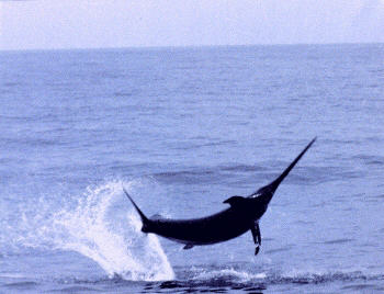 photo of an acrobatic swordfish