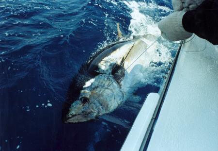 Giant bluefin tuna - 500 lbs
