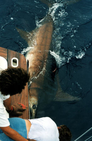 Photo of the release of the world record blue marlin - 1400 lbs - Azores