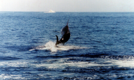 Photo of Atlantic blue marlin of 2000 lbs - Azores