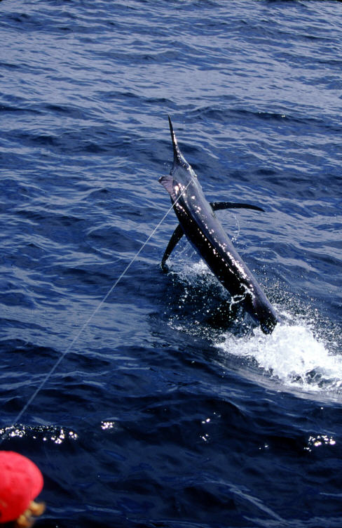 black marlin photo 400 lbs Hannibal Bank, Panama