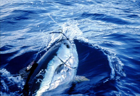 Bigeye tuna photo - Azores
