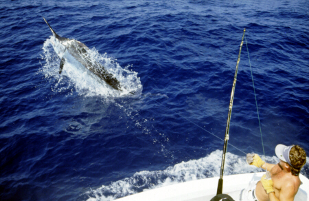 Photo of big blue marlin on the leader in the Azores