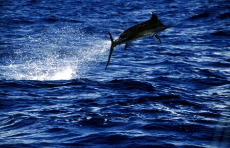 Photo of large blue marlin - Azores