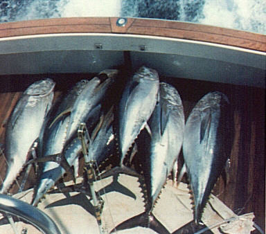Photo of seven bigeye tuna weighing from 200 to 325 lbs - Jack Cashman - Hudson Canyon
