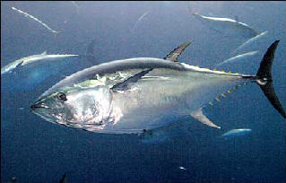 bluefin tuna underwater