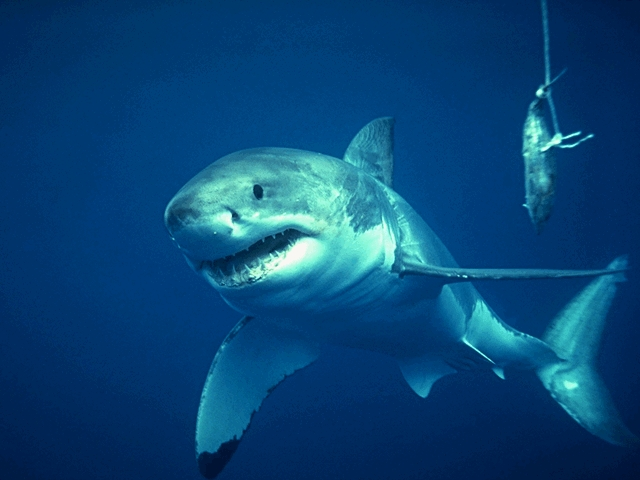 """Great White Sharks"" icon"