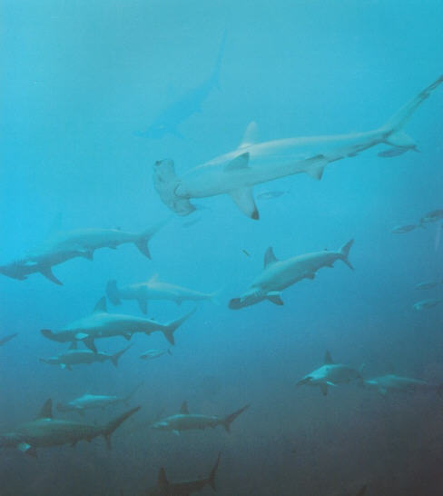photo of hammerhead sharks concentrated for spawning
