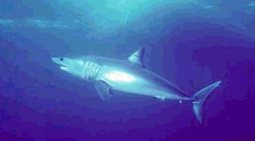 mako shark photo swimming