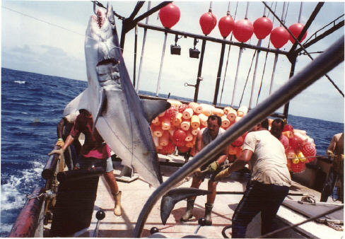 mako shark caught by Venezuelan longline vessel