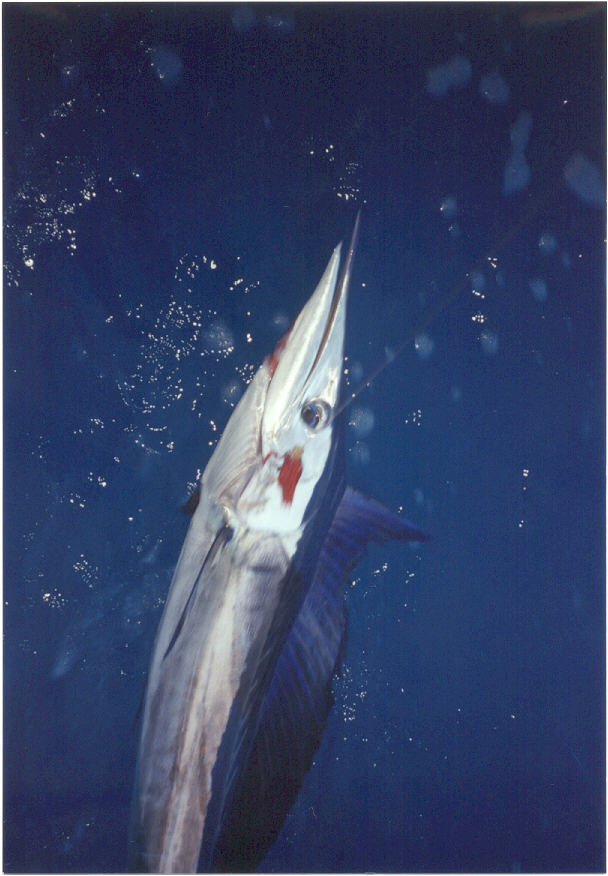 photo of Pacific shortbill spearfish