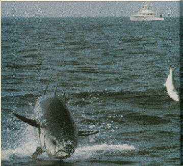 700 lb giant bluefin chasing a bluefish