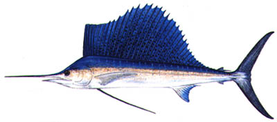 Fish of Florida: Sailfish