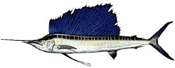 Sailfish image