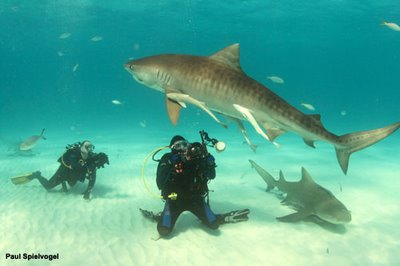 tiger shark and scuba divers